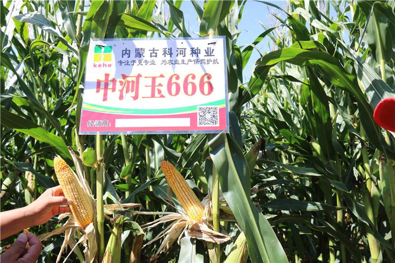 中河玉666
