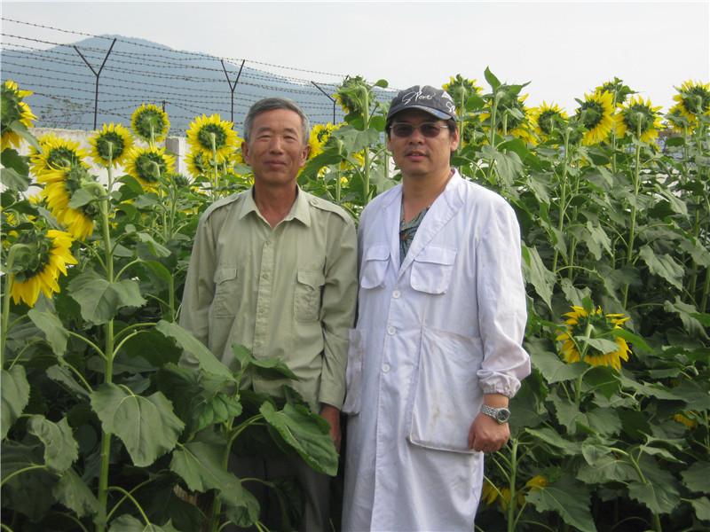 向日葵育种照片